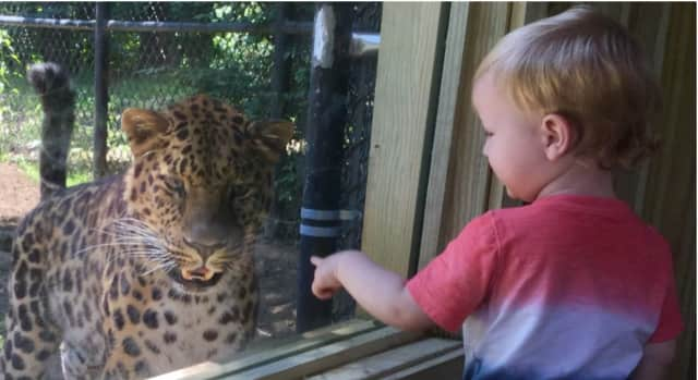 A young visitor gets an up-close look at an Amur Leopard at the large viewing window at the new exhibit at the Beardsley Zoo. The zoo has a female, Freya, and a male, Sochi.