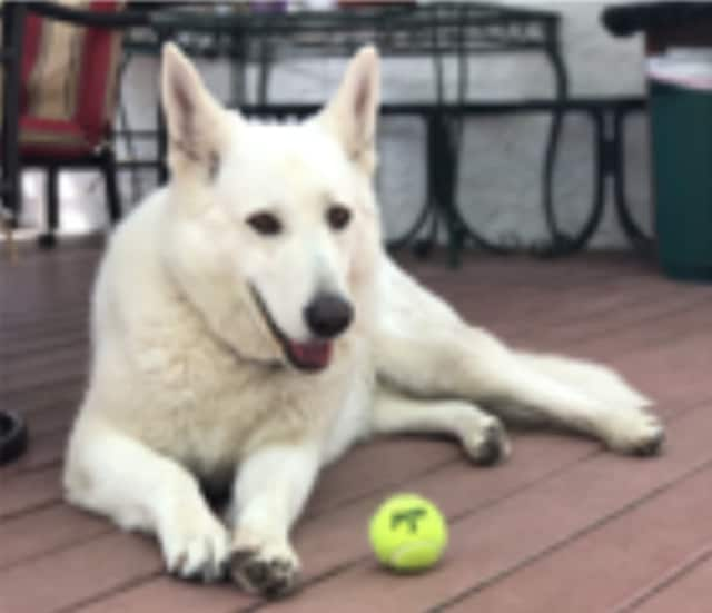 Cher, a white German Shepherd, has been reported missing in New Rochelle.
