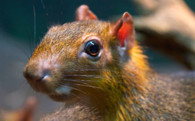 A red-rumped agouti bit a toddler's finger at Beardsley Zoo Sunday.
