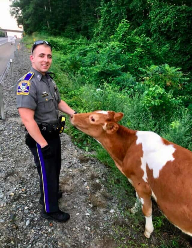 Officers from Troop E in Montville helped round up about 10 cows that became loose along I-395 in Griswold.
