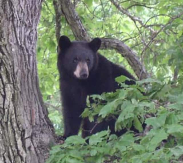 A bear was seen sitting in a tree in Yorktown on Friday.