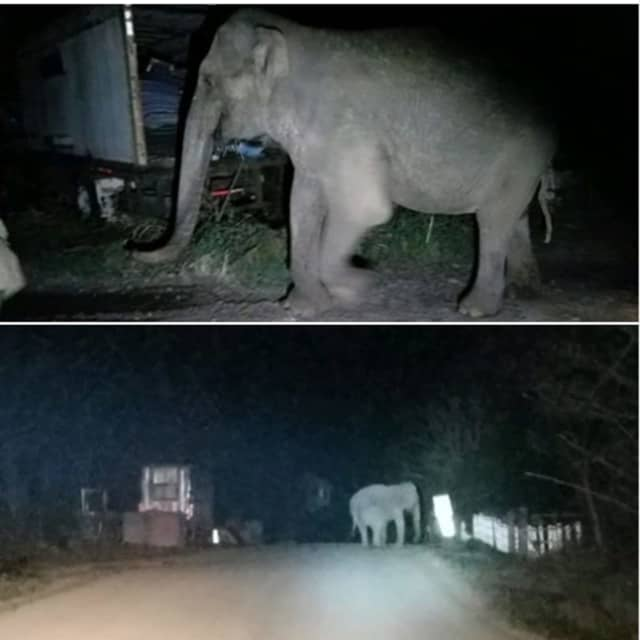 A look at the elephant after it wandering away from the sanctuary and onto a road alongside a field.