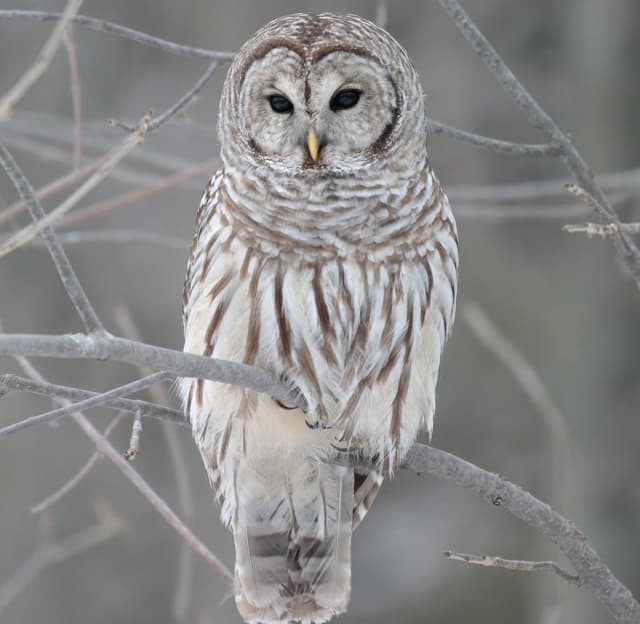 Two barred owls were struck and killed by motorists in Fairfield County.