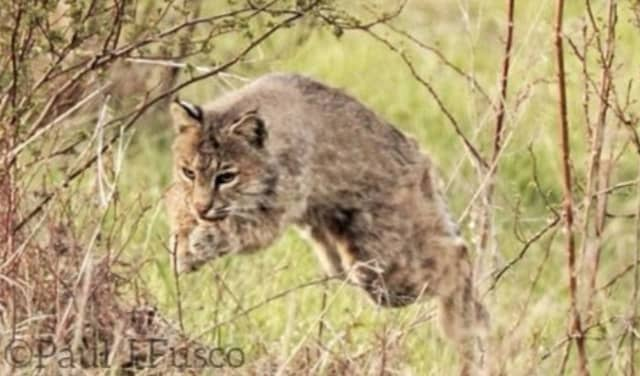 A bobcat (not the one involved in the Southbury incident).