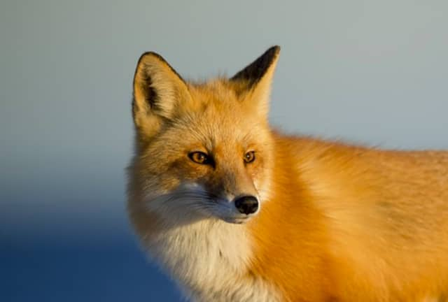 A fox attacked a Morris Plains mother Wednesday.