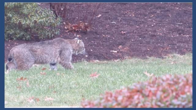 A picture of the bobcat believed to have attacked a 12-year-old Fairfield boy.