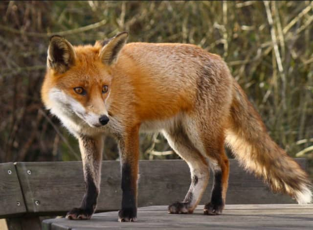 A fox was on the prowl in Lewisboro