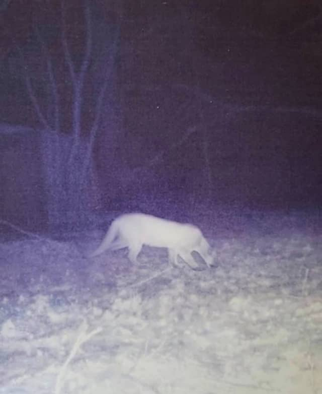 A mountain lion was spotted in Ulster County.