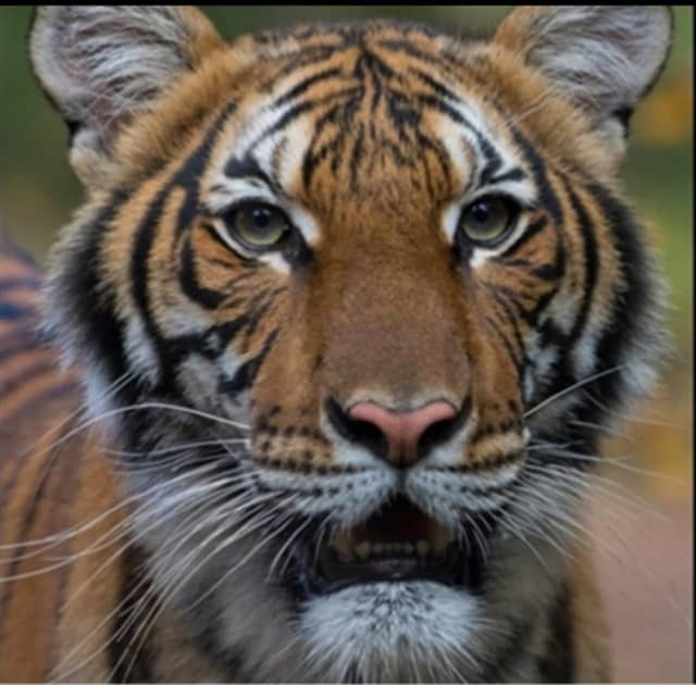 Nadia is a 4-year-old female Malayan tiger.