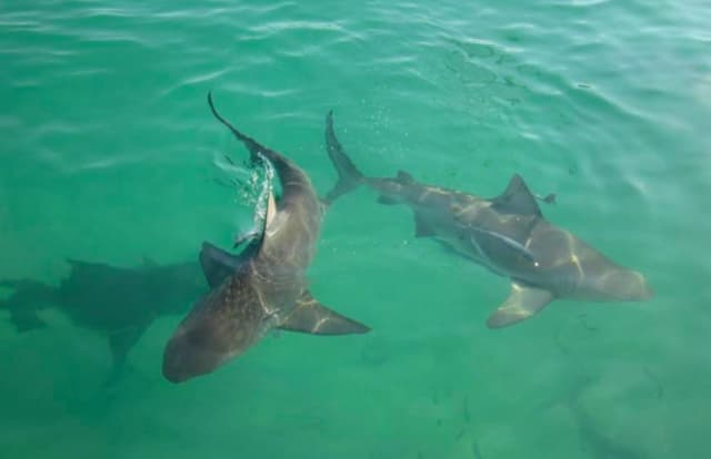 Bull sharks about this size have been spotted in the Navesink River, Rumson residents say  Paul Cameron said he has seen sharks about this size in Jersey Shore rivers. (Cameron's photo was taken off the Bimini Big Game Club dock in Bimini, Bahamas.)