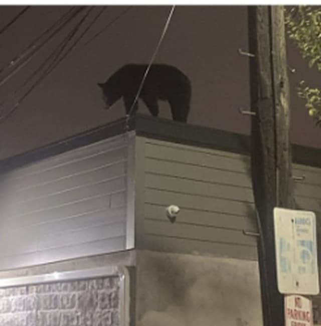 A black bear was spotted on top of a Harrison business overnight Saturday.