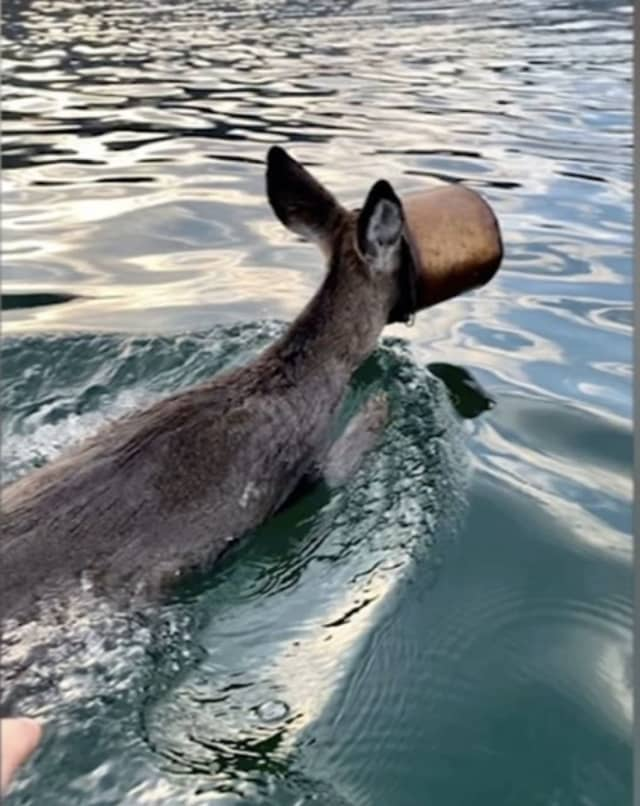 A deer with a paint bucket stuck on his head was saved by an area rescue group and a helpful boater.