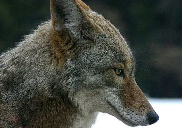 Coyotes have been running rampant in Southbury, according to Animal Control officials.