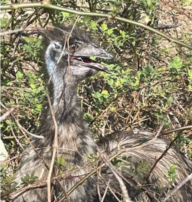 The poor emu stuck in the branches.