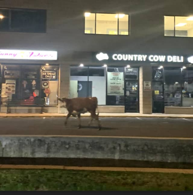 Police in Fairfield captured a cow on the run.