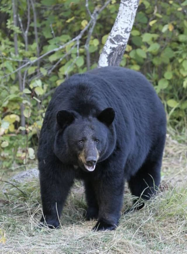 An American black bear.
