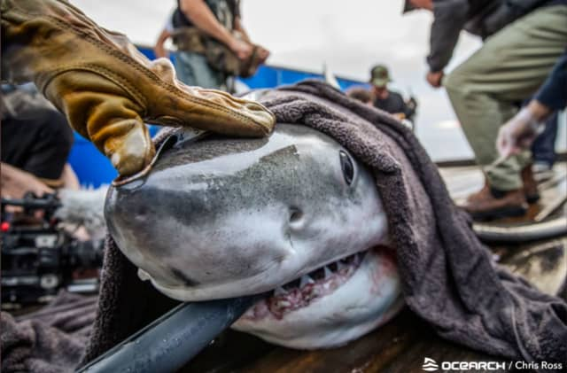 """Freya is a sub-adult female white shark. Her name was chosen by Sea World, and translates to """"Noble Woman"""". Freya was named to honor the noble women researchers on both Expedition Carolinas and on all past research expeditions."""
