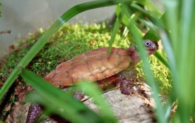 The black-breasted leaf turtle is an endangered species