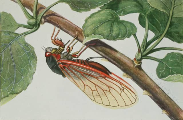 The 17-year periodical cicada has red eyes and black bodies.