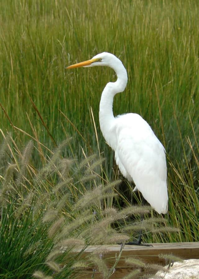 The snowy egret is typical of the birdlife that can be seen on habitat like the White Barn property in Norwalk.