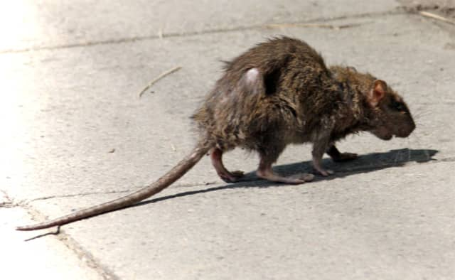 Street rats are taking over the city, according to a new report.