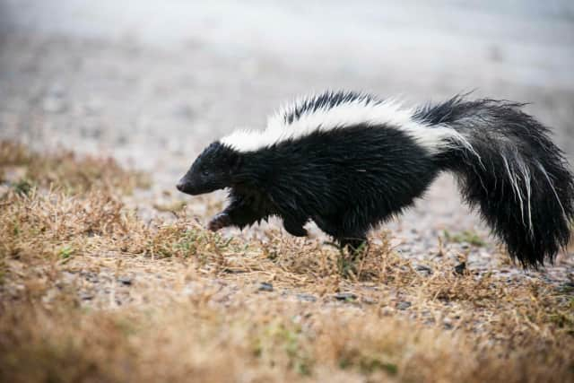 Two rabid skunks were recovered in Clifton.