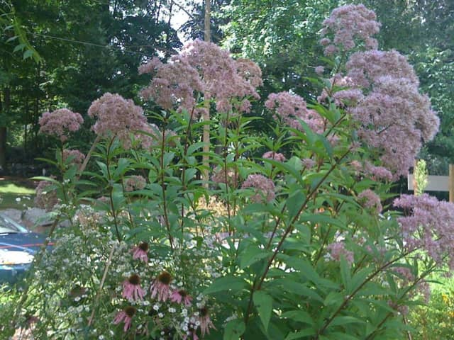 This Joe-Pye weed -- named for a Native American healer -- was flourishing in the garden in 2013.