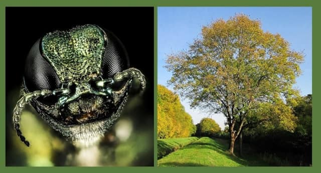 This striking green beetle may be responsible for a mass kill-off of New Jersey's ash trees.