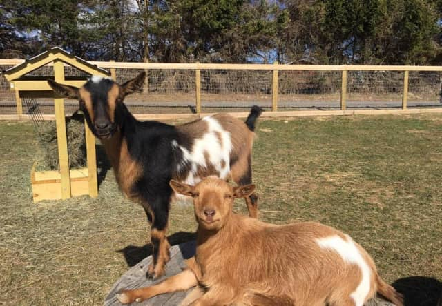 Calvin and Hobbs, the new goats at Tilly Foster Farm.
