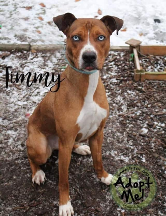 Timmy, Hi Tor Animal Shelter's Pet of the Week, is up for adoption. The active Great Dane mix needs a home with older children who can handle all his energy.