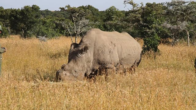 Sudan at the Ol Pejeta Conservancy. The last male Northern White rhino in the world, Sudan died March 19. Image courtesy Fairmont Hotels & Resorts.