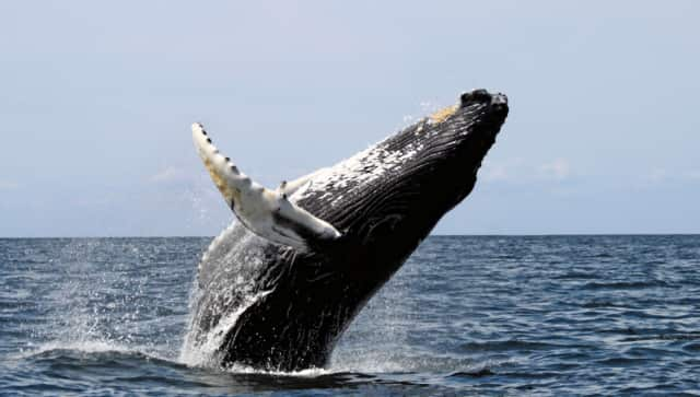 A humpback whale (not this one but a similar one) was sighted near Cockenoe Island off of Westport.