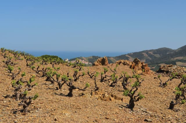 An all-stone vineyard of the Banyuls wine region in Roussillon in southern France, near the Spanish border, overlooking the Mediterranean Sea. Photograph by Doug Paulding.