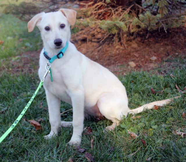 """Winnie is among the dogs rescued from a """"high kill"""" shelter on Nov. 21 by Pet Rescue of Harrison. Winnie and other dogs, puppies, cats and kittens can be adopted from the facility at 7 Harrison Ave. in Harrison."""