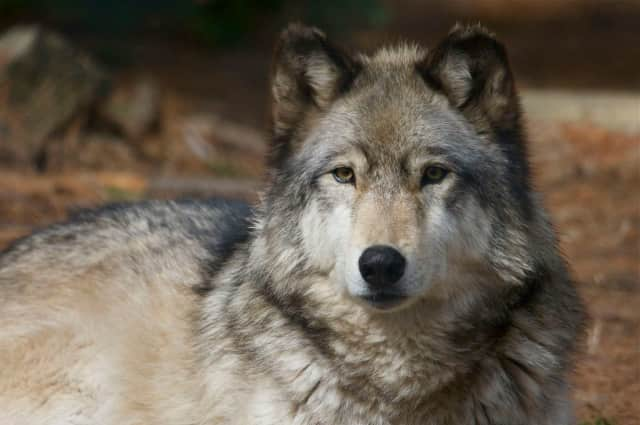 Connecticut's Beardsley Zoo in Bridgeport is supporting wolves during Lobo Week  March 27 to April 1. Two Mexican Gray wolves and two Red wolves live at the zoo where activities on wolf conservation are planned.