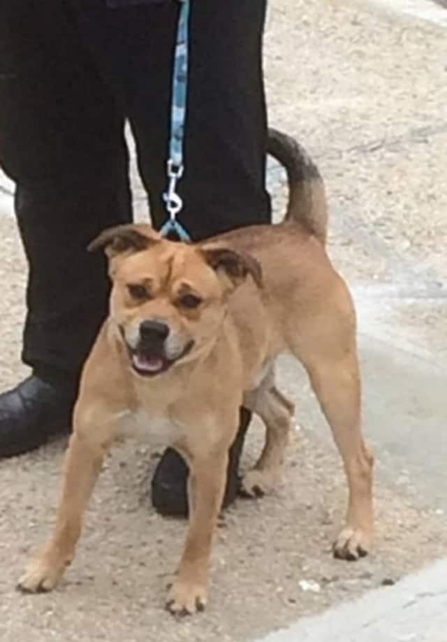 This little brown dog was found near the corner of Sterling and Scott avenues in Yonkers around 1 p.m. Thanksgiving Day. He is awaiting his family at the Yonkers Animal Shelter on Ridge Hill Boulevard.