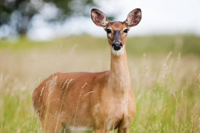 A total of 25 deer were culled on Fire Island with more than 500 pounds of venison donated to Island Harvest, a food bank in Hauppauge.