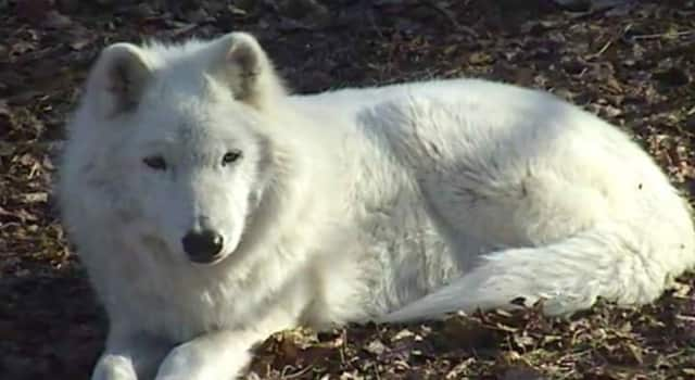 Atka, a 13-year-old, 90-pound wild Arctic gray wolf, will visit the Scarsdale Public Library on Monday.