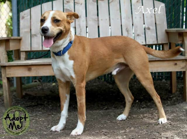 Axel is Hi Tor Animal Care Center's Pet of the Week.