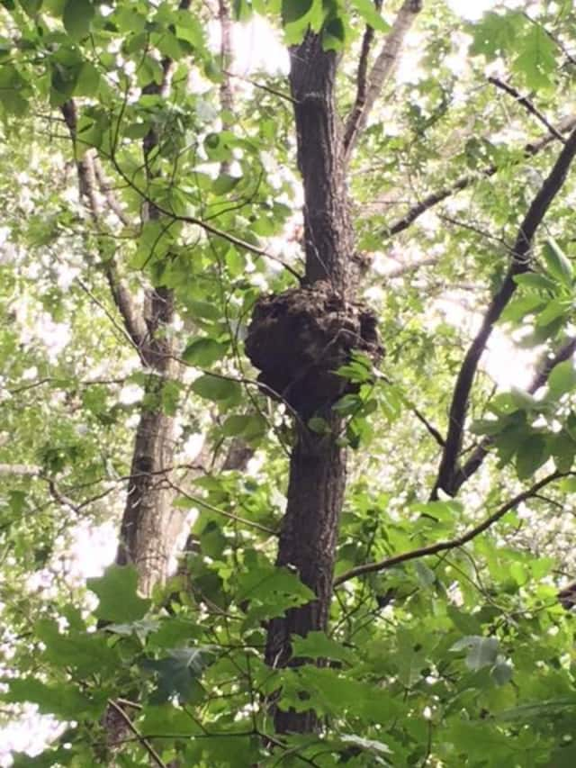 Ramapo police said they located this nest in the Montebello Elementary School playground and notified the school to remove it.