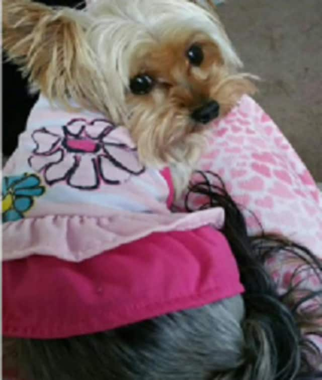 Have you seen Baby, the missing Englewood yorkie?