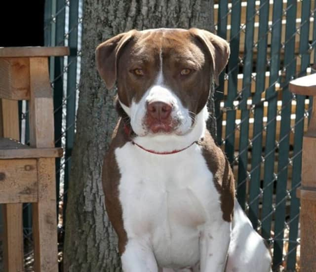 Bam, a pit bull mix, is the Pet of the Week at the Hi Tor Animal Care Center in Pomona.