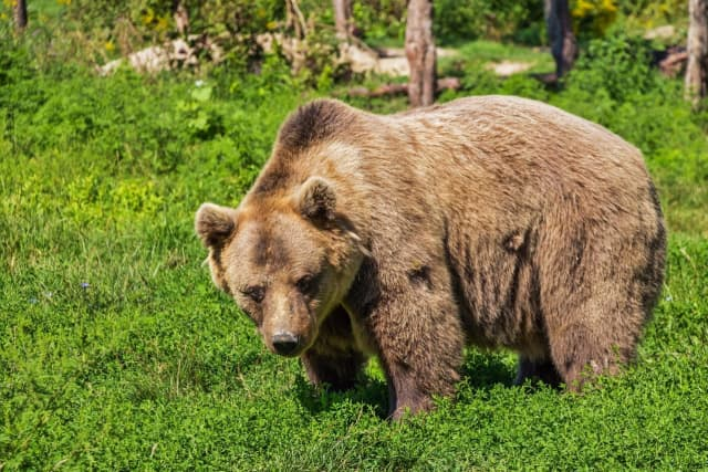 Brown bears killed 70 people in the US in the past 50 years, researchers said.