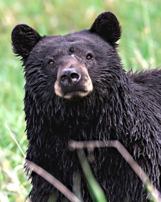 Hikers in Bergen and Passaic counties have reported encounters with black bears.