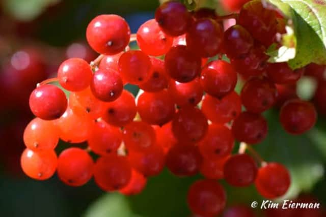 Fruit of American Cranberry Bush – a Bird Favorite.