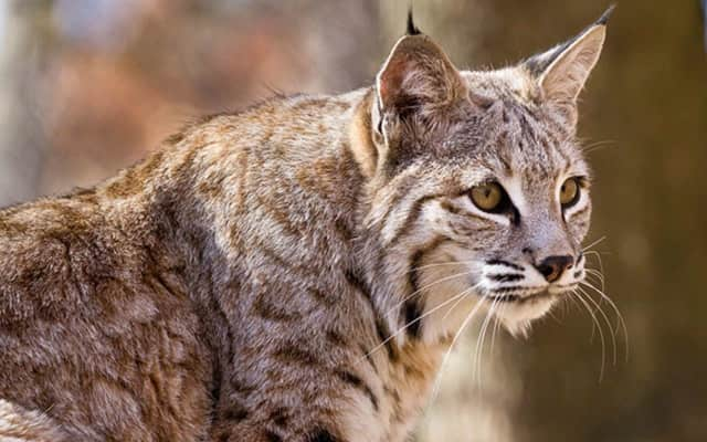 A bobcat like this one was released in West Milford.