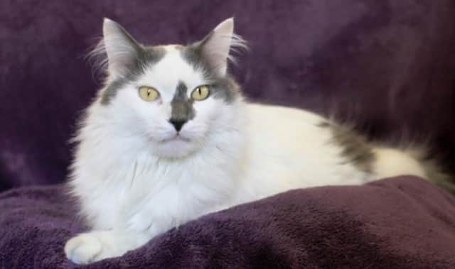 Brian, a mellow long-haired kitty, is up for adoption at the Hi Tor Animal Care Center in Pomona.