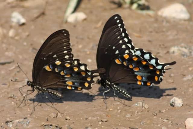 Butterflies puddling.