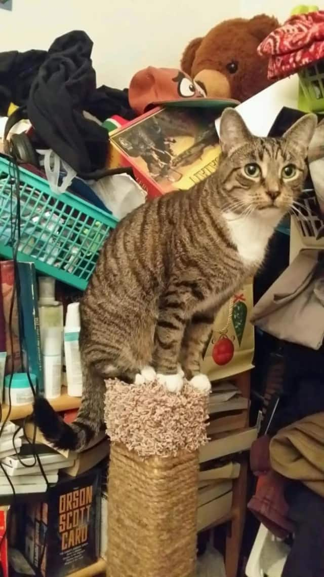 This cat went missing in New Rochelle.