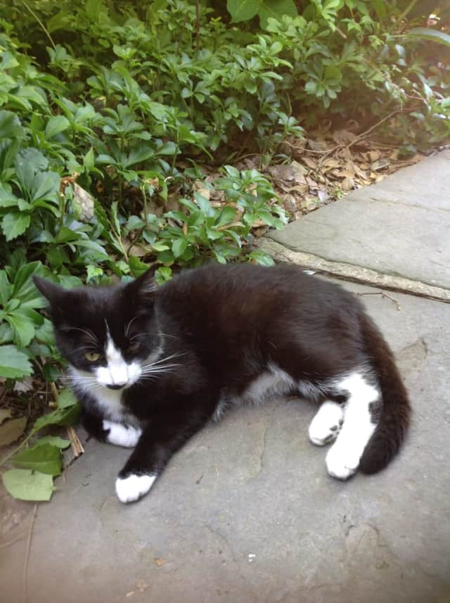 This black and white cat has not returned to her home in Tarrytown.